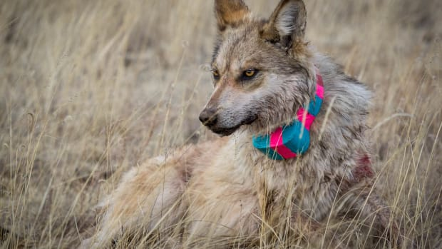 Researchers fitted this Mexican gray wolf with a radio collar in 2018. They estimate about two dozen Mexican gray wolf packs live in eastern Arizona and western New Mexico. (Photo courtesy of Jenna Miller, Cronkite News)