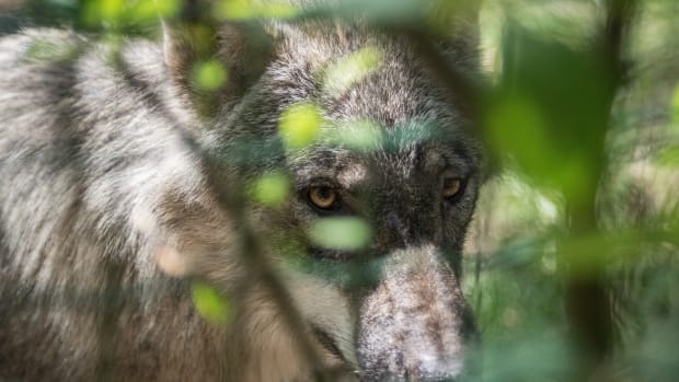 A gray wolf behind leaves.