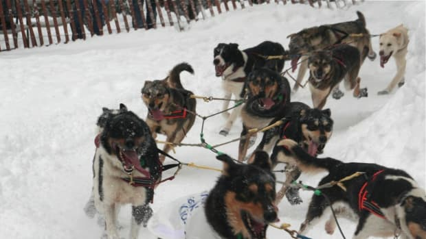 Pictured: The ceremonial start in Anchorage, Alaska of the 2012 Iditarod,