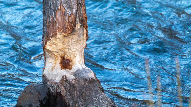 A gnawed tree on the shore of the Umatilla River is the work of a beaver. Bushes and trees provide food and shelter for these nocturnal rodents. (Photo by Kathy Aney, Underscore)