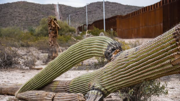 Despite efforts to save desert plants that were removed during the construction of the wall, not all those transplanted survived. Saguaro cactus, such as the one pictured, don't usually start growing arms until they are at least 100 years old. (Photo by Isaac Stone Simonelli/Cronkite Borderlands Project)
