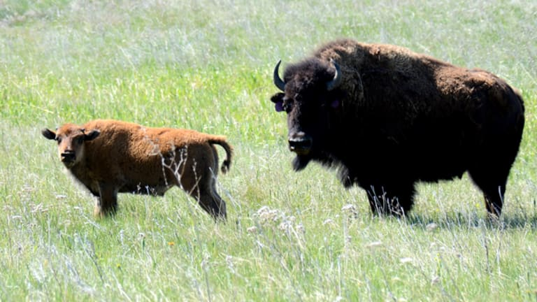 Yellowstone bison entering Montana face slaughter, hunters