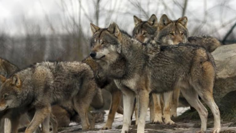 New Mexico rejoins pact to restore Mexican gray wolves