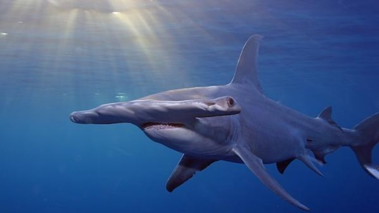 Report: More sharks, rays threatened with extinction