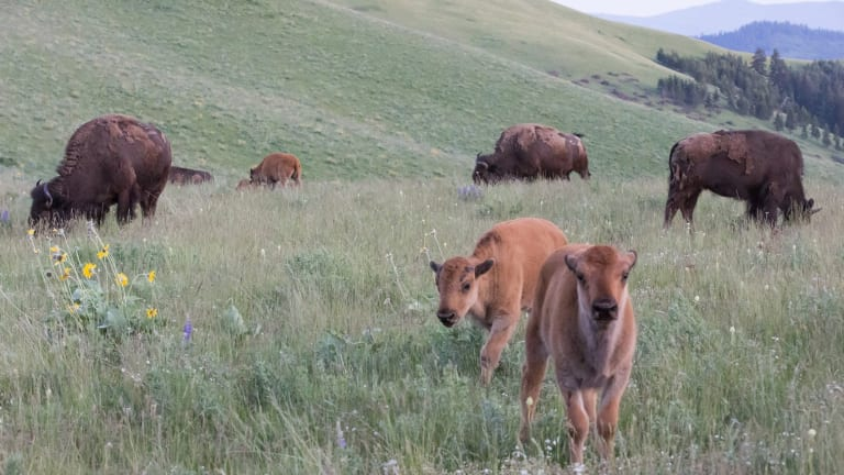 National Bison Range releases final Record of Decision to guide future management and continue conservation legacy