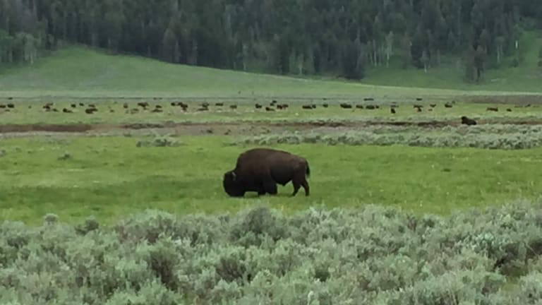 From a Yellowstone roam ... to a new tribal home