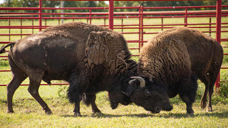 Cherokee Nation welcomes two Yellowstone bison to herd in Delaware County