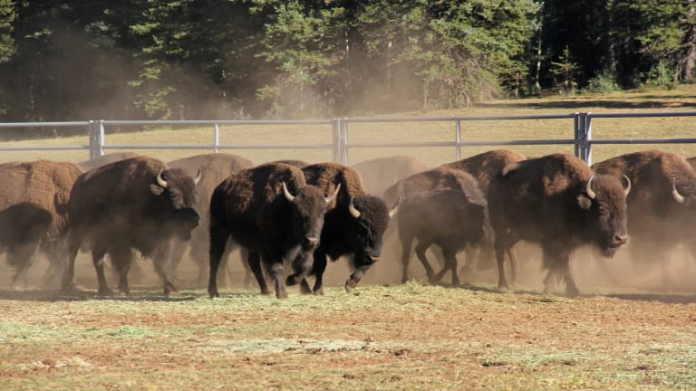 Grand Canyon bison sent to Great Plains tribes