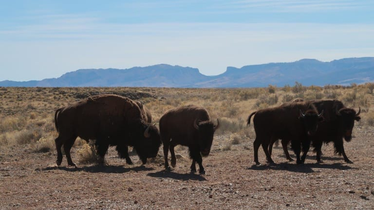 Grand Canyon outlines lethal removal of bison from North Rim
