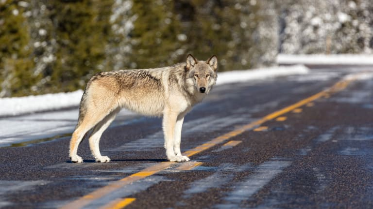 New wolf killing laws push to revive protections