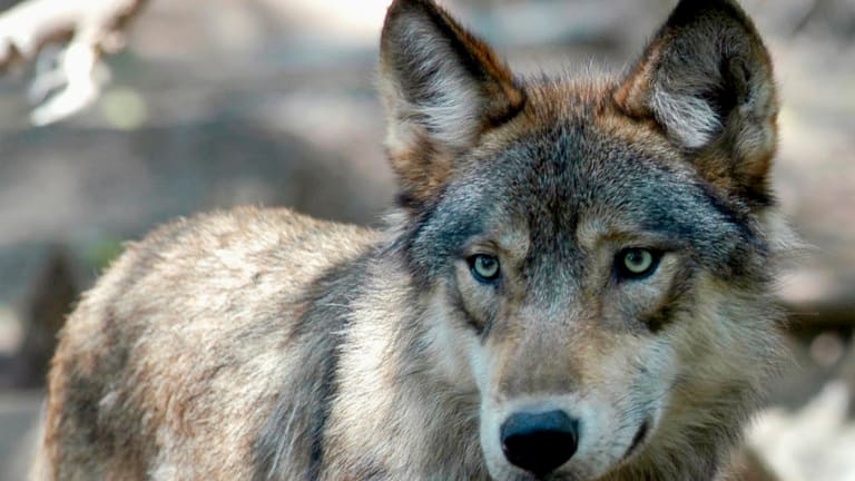 Tribes blast wolf hunt, say it was about killing