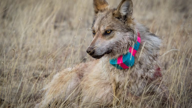 US wildlife managers tout wolf cross-fostering effort