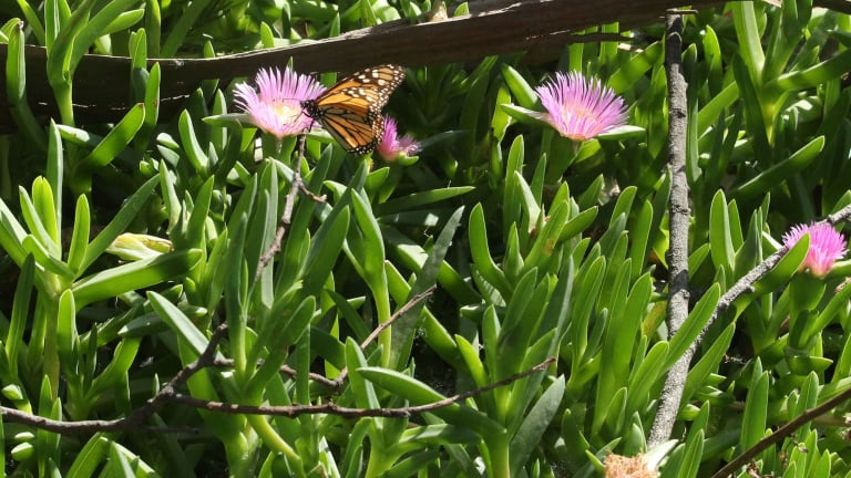 2024 protection is 'too long' for monarch butterflies