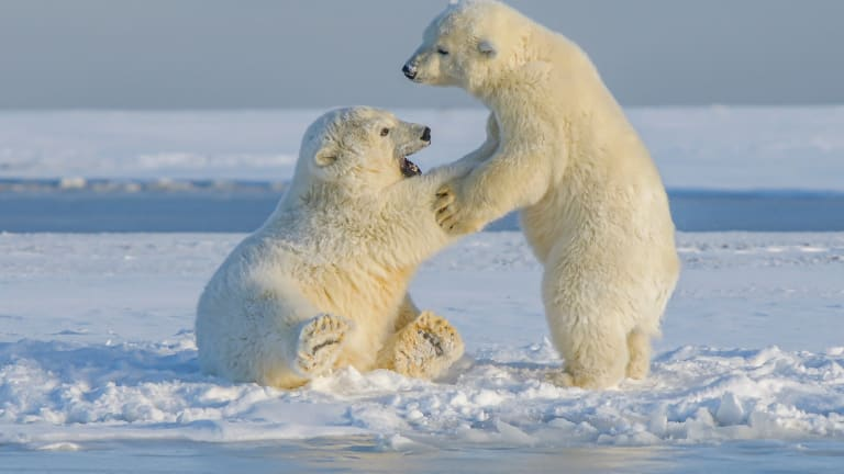 Lawsuit calls out Biden administration for allowing oil operators to harm Southern Beaufort Sea polar bears