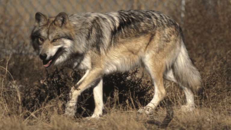 Scientists determine Mexican gray wolf is a subspecies; ranchers object 'we would rather not have them'