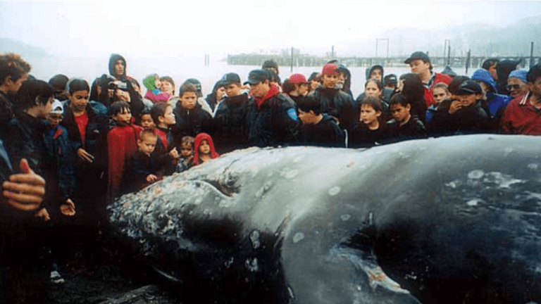 Makah one step closer to hunting whales: Animal rights extremists continue to oppose it