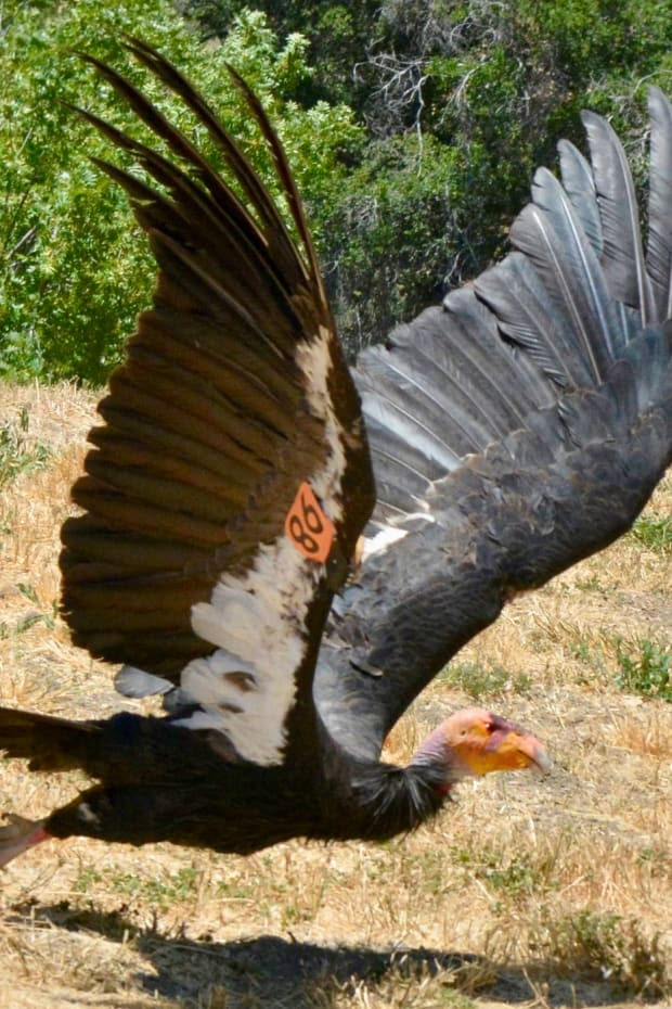 A California condor. The endangered bird could return to the Pacific Northwest for the first time in 100 years. (Photo courtesy of U.S. Fish and Wildlife Service Facebook page)