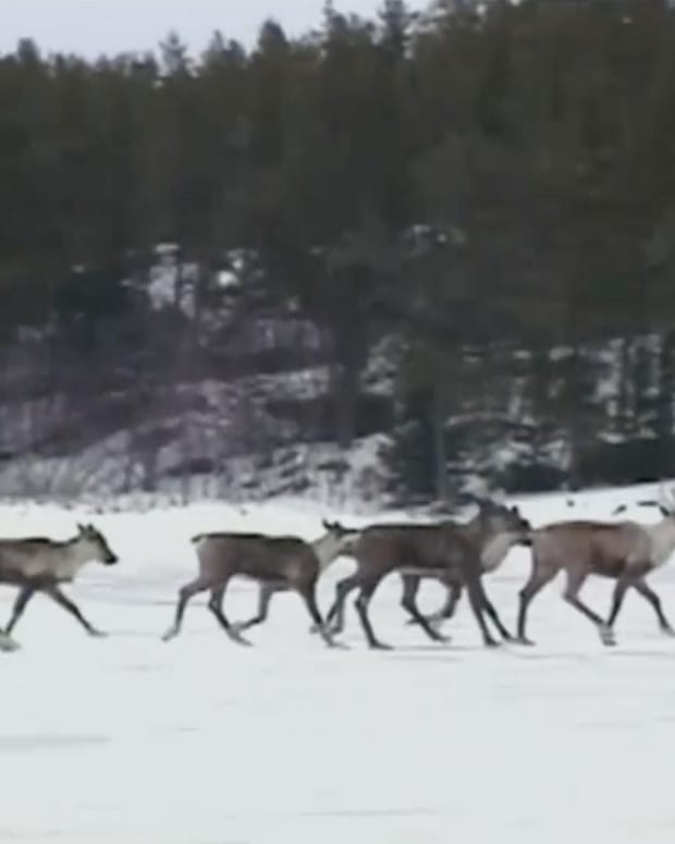 Innu caribou hunt sparks debate over territorial and hunting rights among First Nations in Quebec. (Screengrab from APTN video)