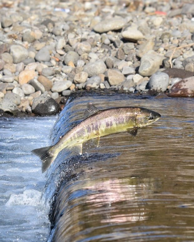 Salmon, Water, Pacific Fishery Management Council