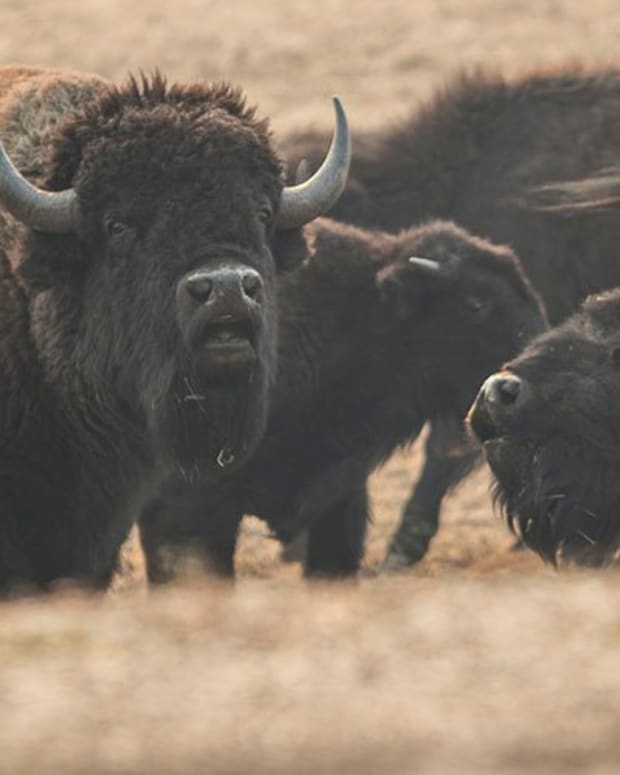 The bison herd on the North Rim of the Grand Canyon has grown too large and is damaging the park's environment, which is why state and federal wildlife officials are planning a limited hunt as one way to manage the herd (File photo by Kianna Gardner/Cronkite News)