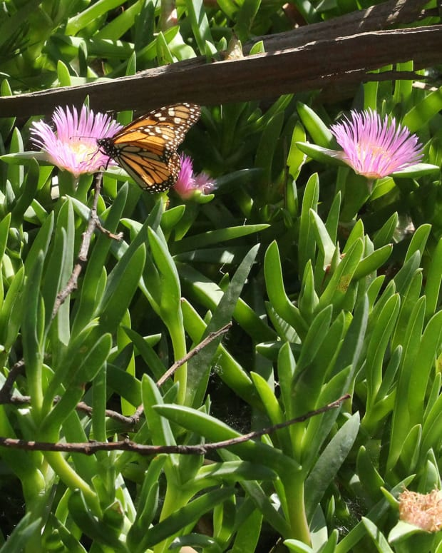 A monarch butterfly pollinates a flower at the Pismo Beach Butterfly Grove in Pismo Beach, California. (Photo by Leo Tochterman/Cronkite News)