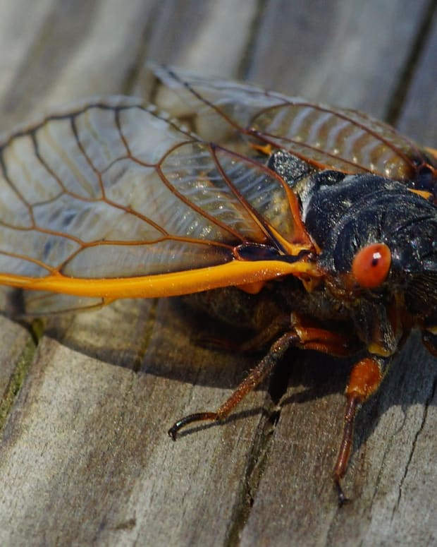 Brood X cicadas are expected to emerge in late April or early May 2021 after spending 17 years underground. (Photo courtesy of Stephen Little, Creative Commons)