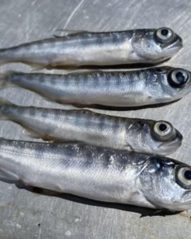 Pictured: A fast-spreading disease is expected to kill nearly all of juvenile salmon on the Klamath River. The photo features fish that are presumed to have died from disease.