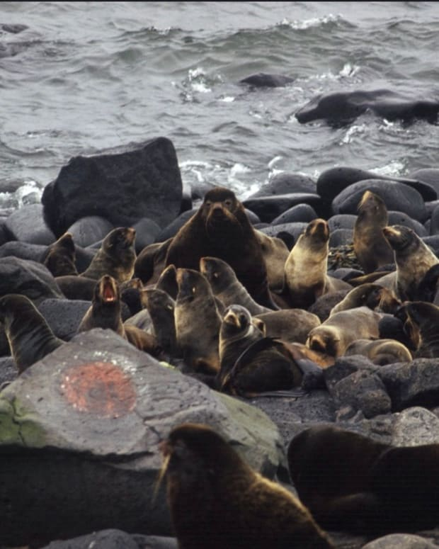 Fur seals. St. Paul, Pribilof Islands, Alaska. (Photographer: Allen Shimada, National Oceanic and Atmoshpheric Administration, National Marine Fisheries Service, Office of Science and Technology/AMD, Courtesy of Creative Commons).