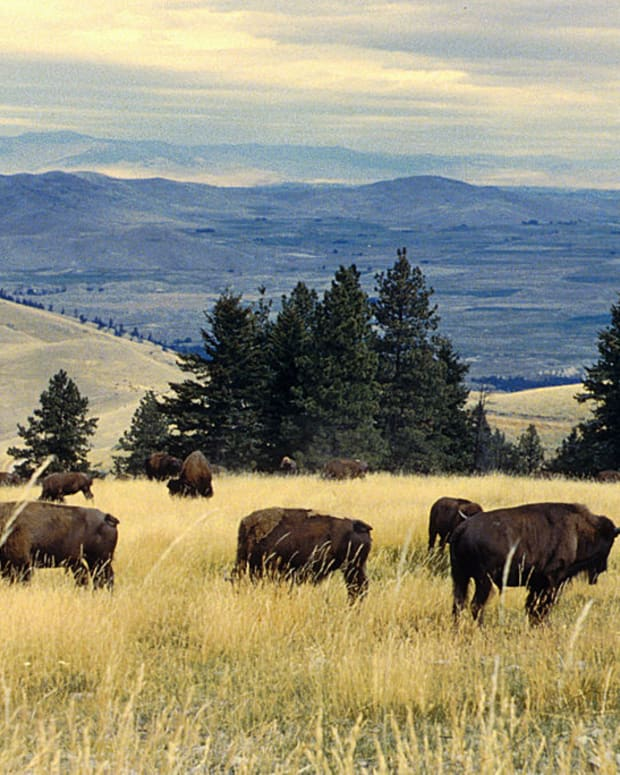 Pictured: Bison herd grazing at the National Bison Range.