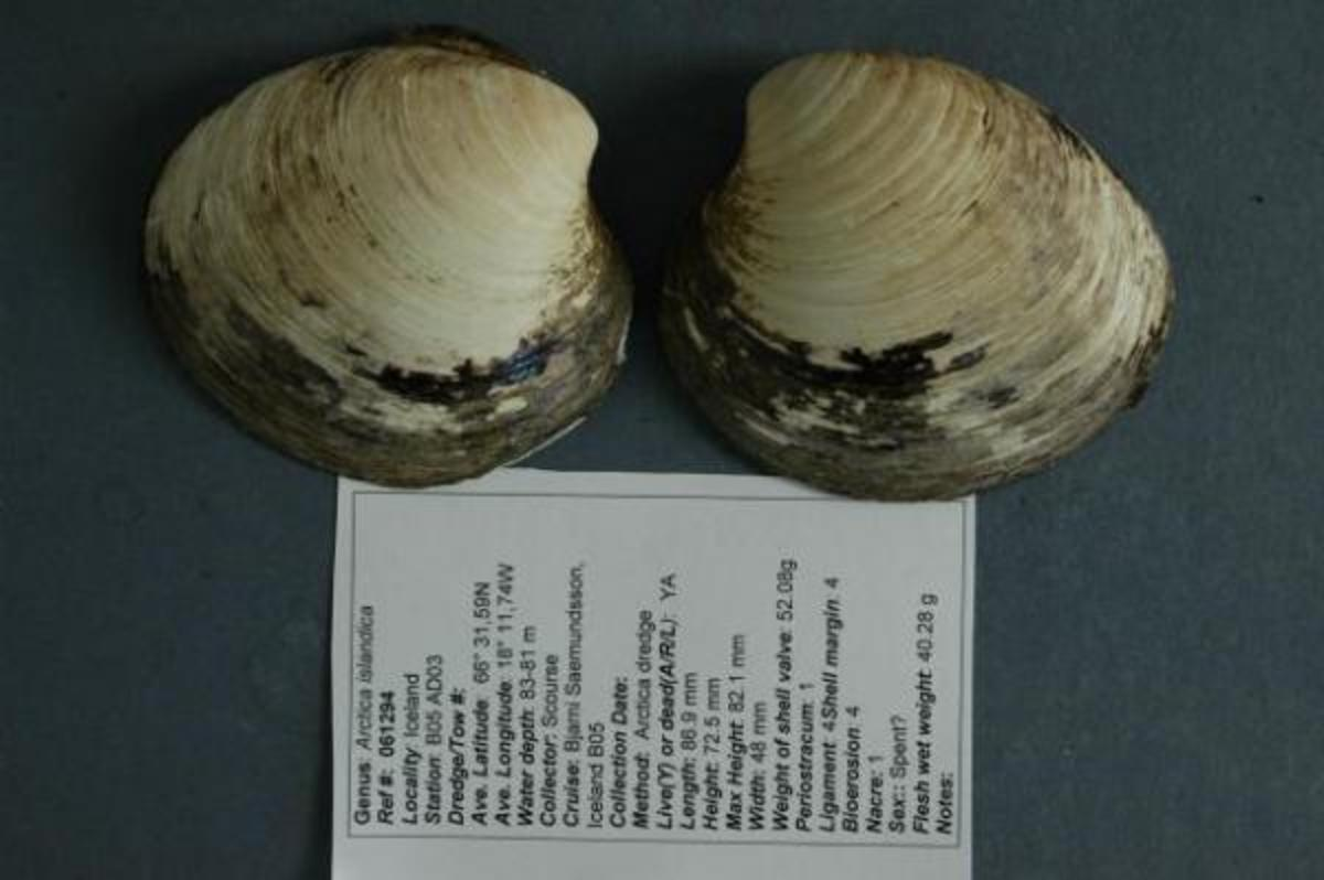 This is the only picture of the ocean quahog Ming—the longest-lived non-colonial animal so far reported whose age at death can be accurately determined. After the photo was captured in 2007, the shells were separated to allow accurate determination of the animal's age.