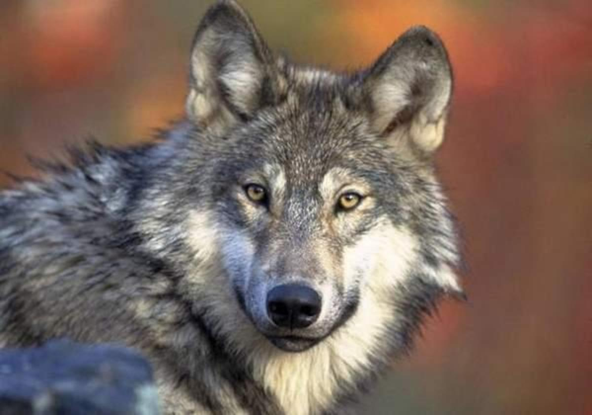 Ojibwe and other tribes want the gray wolf kept on the Endangered Species List; two dozen scientists have called for its removal.