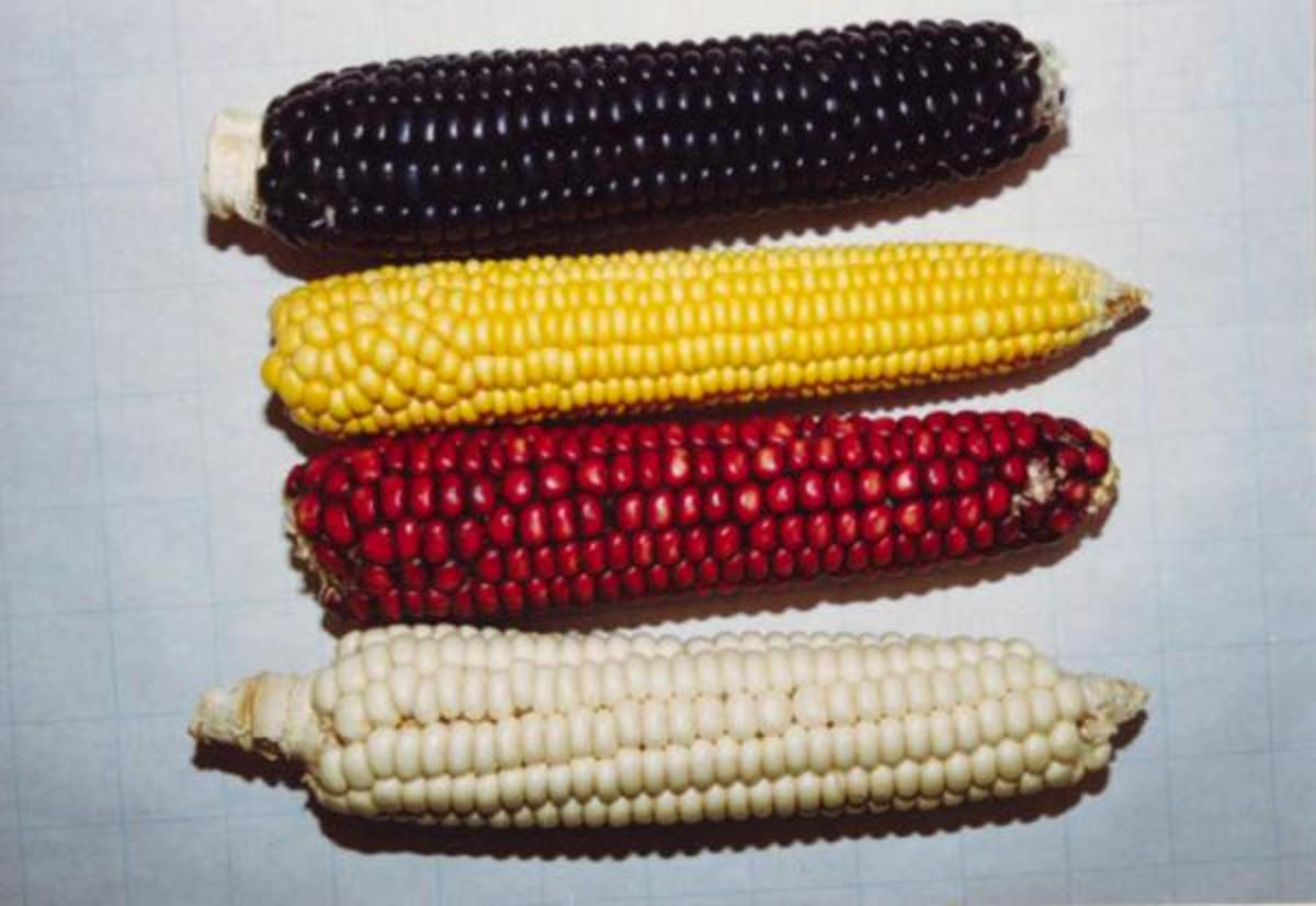 Corn is a staple food and has traditionally been one of the most sacred foods of Southwestern peoples