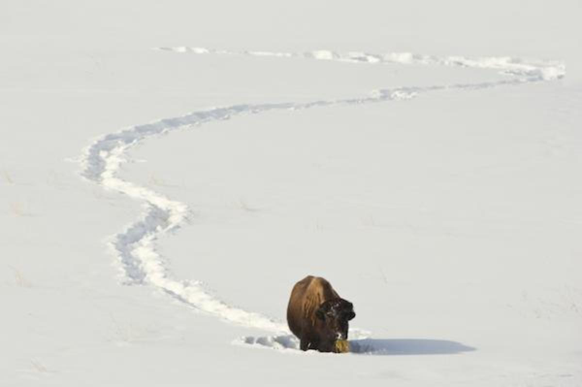 Yellowstone bison wander into Montana each winter in their search for food at lower altitude, and a break from the deep snow. There, they are perceived as a threat to livestock from brucellosis, and are hunted or sent to slaughter.