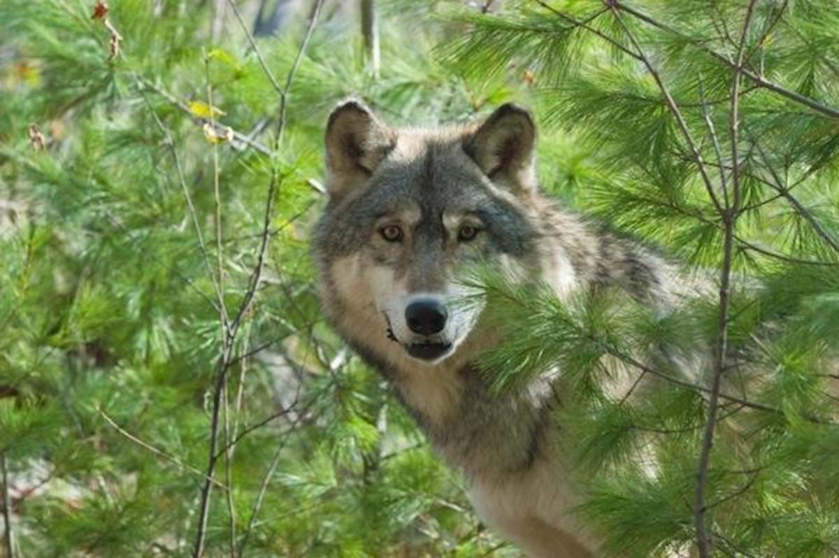 The gray wolf, once numbering just a few hundred, has rebounded enough to be taken off the federal Endangered Species List.