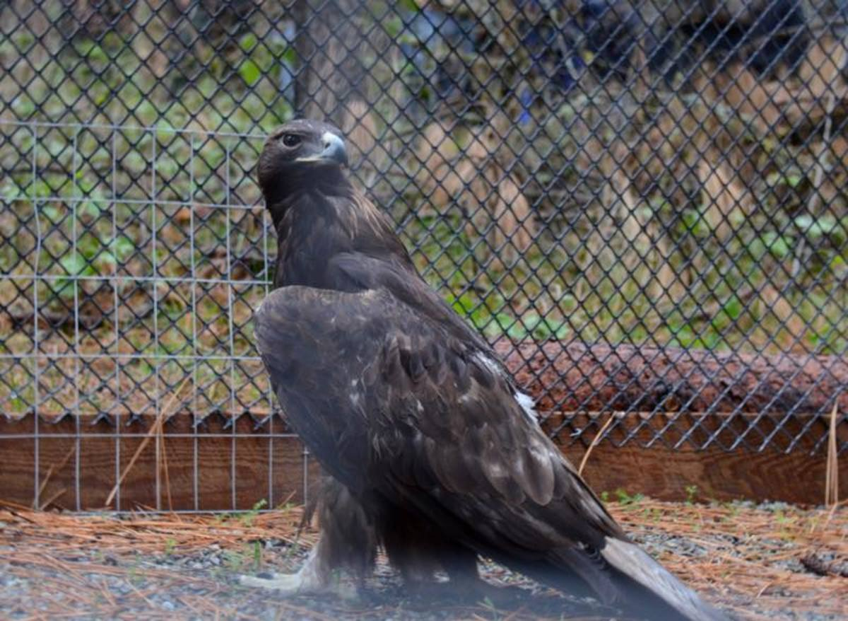 golden eagle in aviary