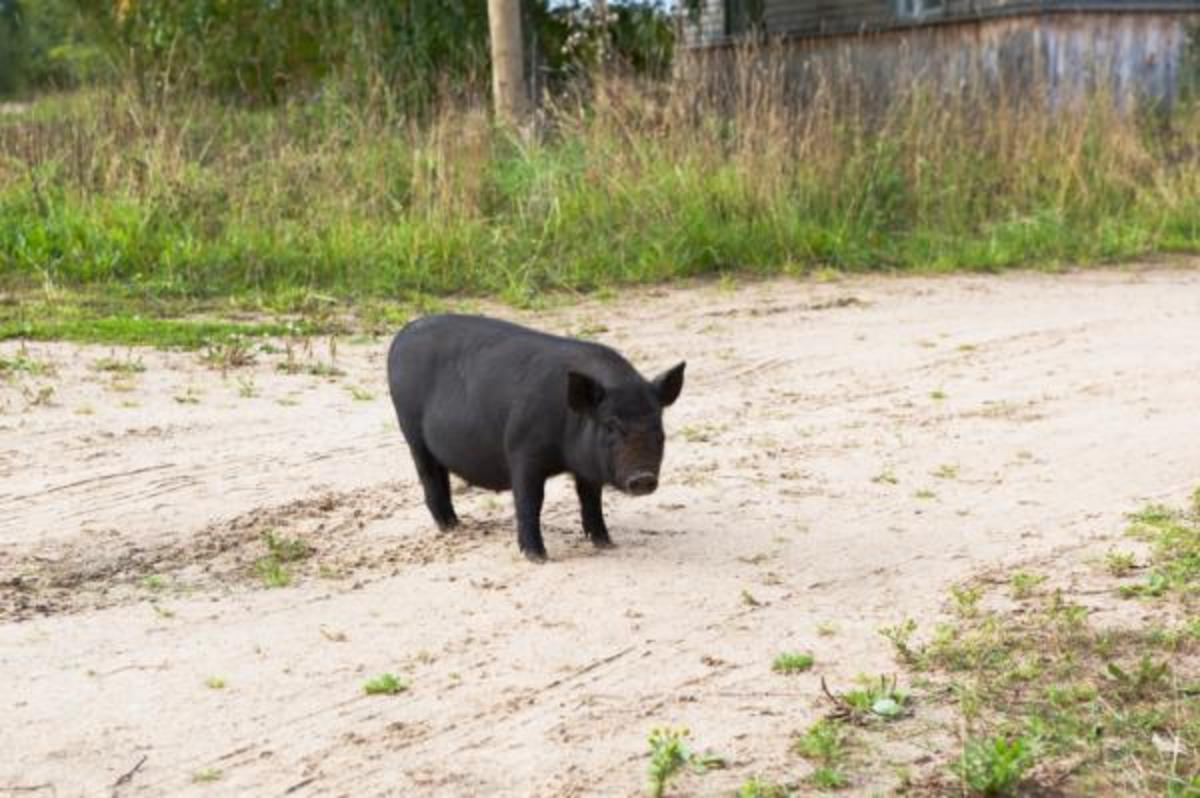 Why did the pig cross the road?