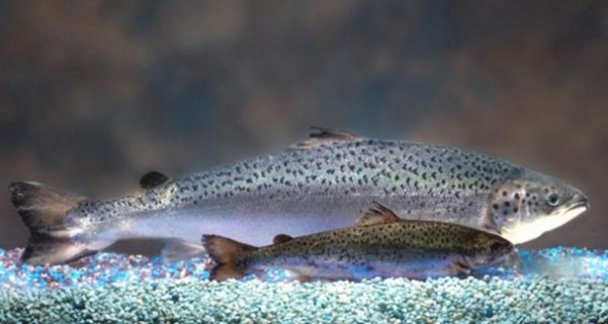 """""""Frankenfish,"""" a genetically engineered super-salmon and the first biotech animal for human consumption being reviewed by the Federal Drug Administration, grows twice as quickly as wild salmon."""