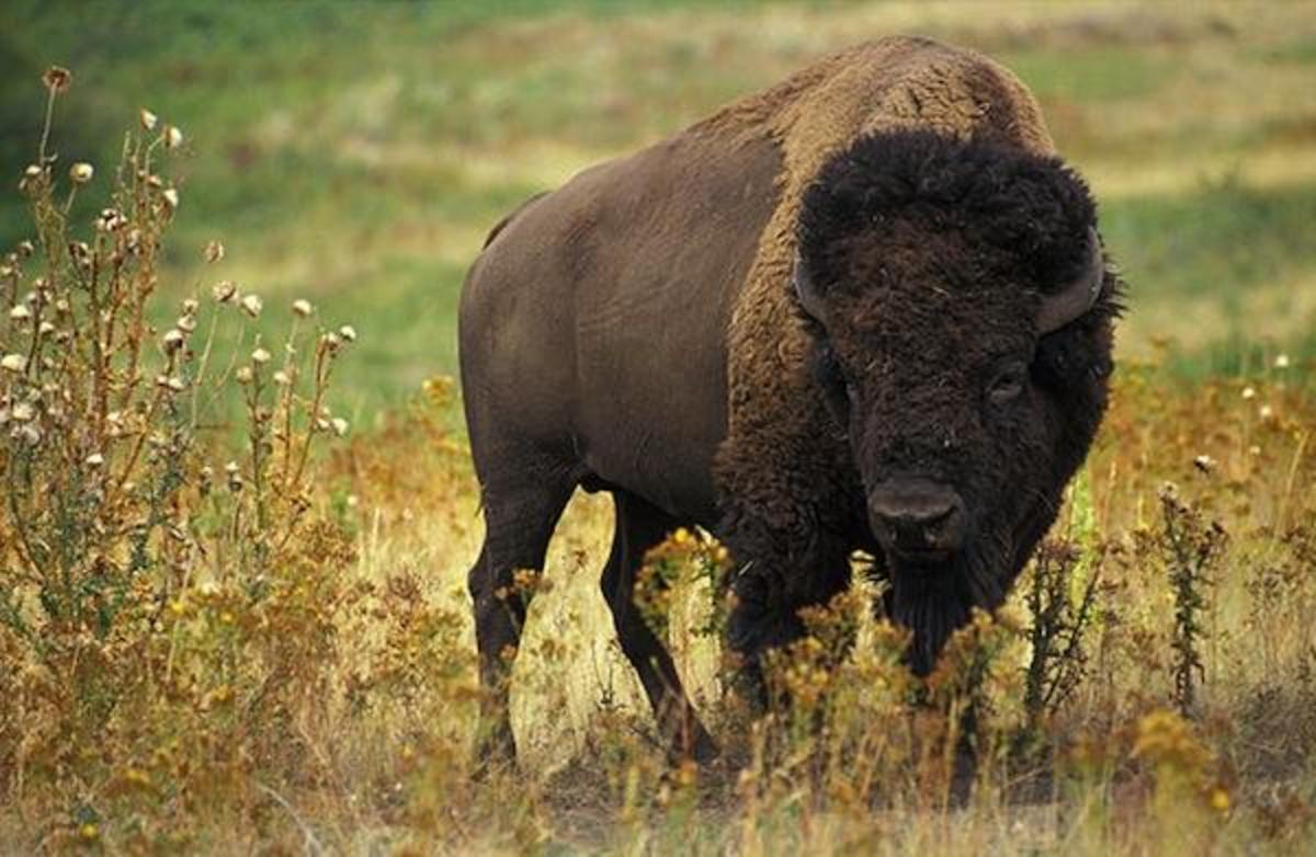 A herd of bison much like this animal appeared near where water protectors were clashing with police at the site of the Dakota Access Pipeline build. A distant shot of them was caught on video.