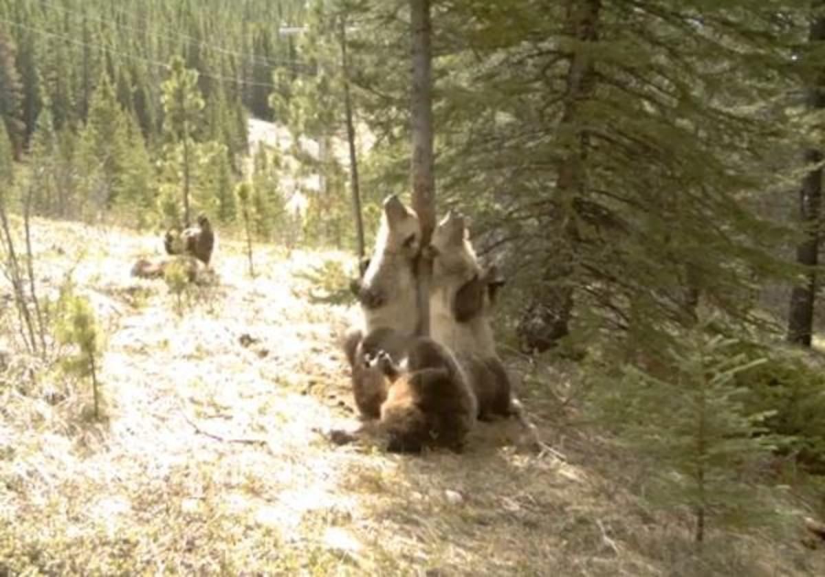 What bears do when we're not there: still from the viral video of a tree-scratching par-TAY.