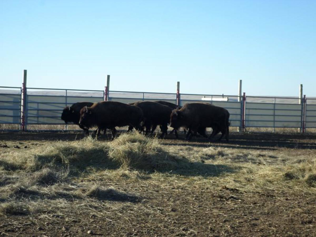 Bison on the Fort Peck Indian Reservation before their November 2016 transfer to the Bronx Zoo in New York City.