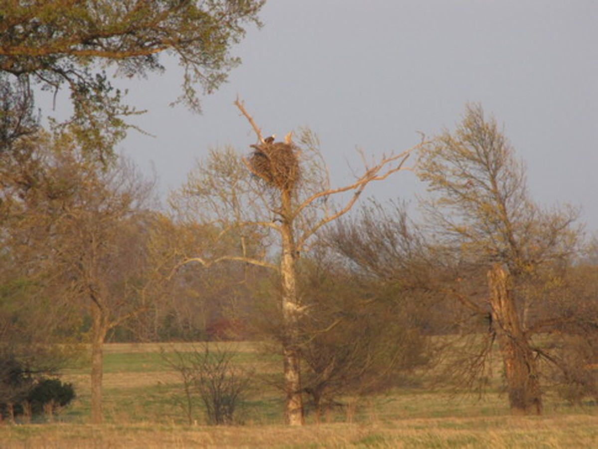 eagles wintering-Chickasaw National Recreation Area