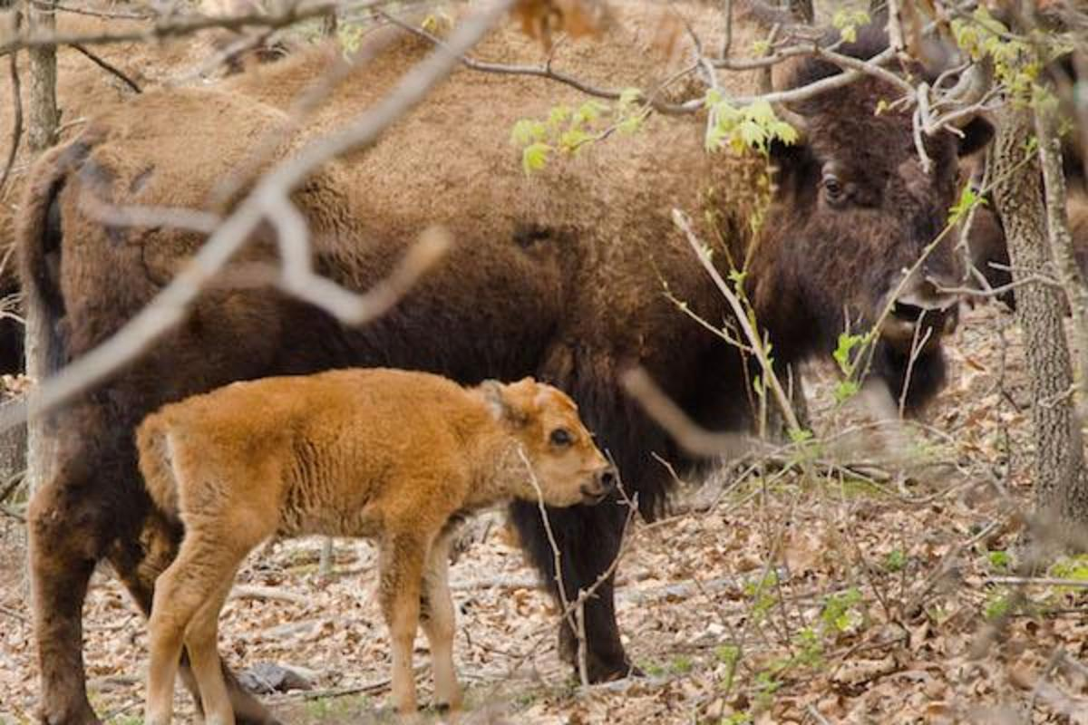 The first of nine bison calves in the herd received by the Cherokee Nation last October was born on April 8, 2015.