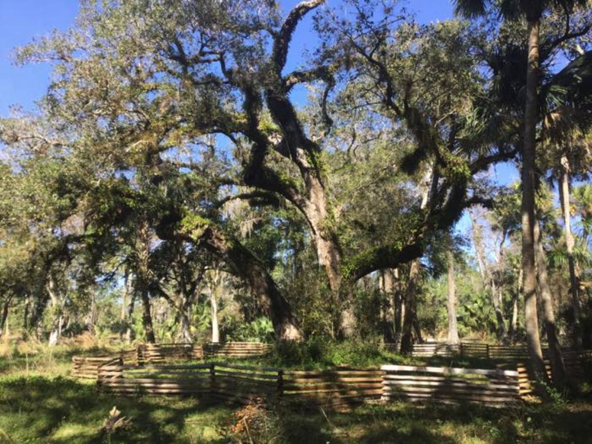 The Tree of Tears is fenced in to protect visitors from falling branches. The Loxahatchee Battlefield Preservationists are trying to preserve this 300-year-old tree that Seminole Tribe warriors gathered around during the Second Seminole War. Beneath the tree is a burial mound.