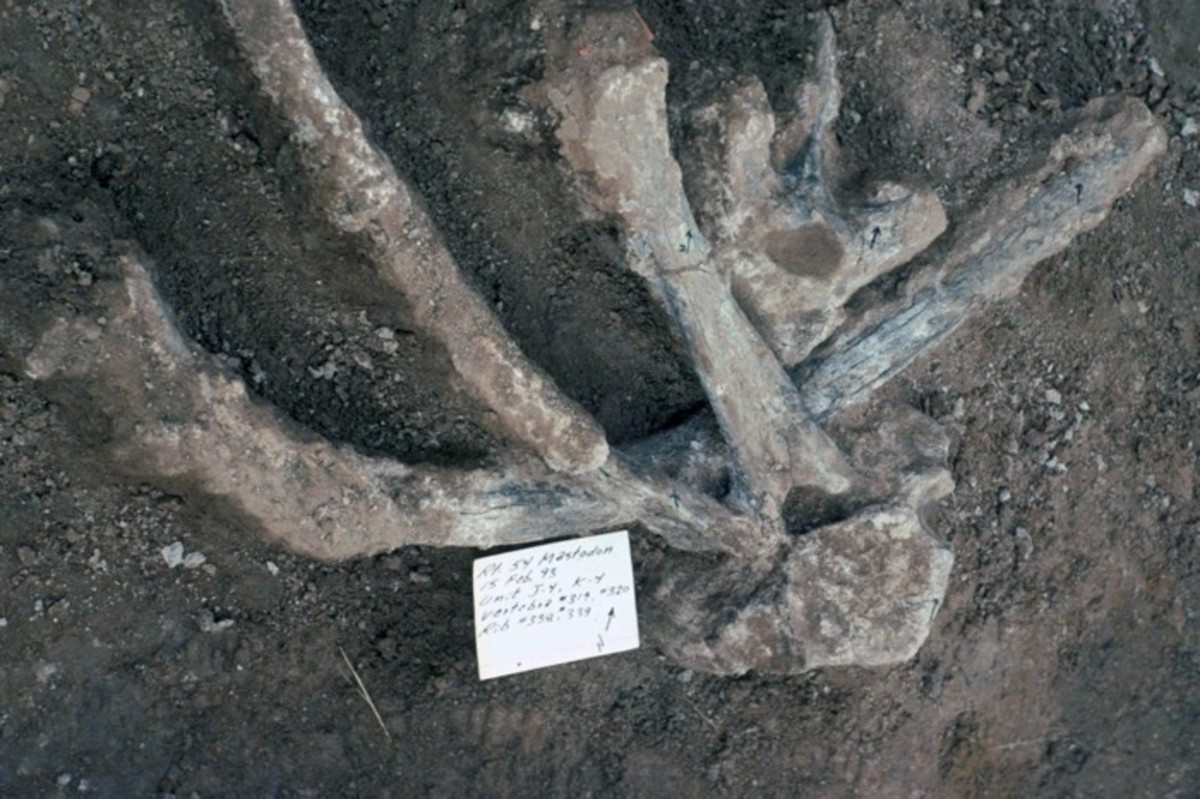 Humans, 103,000 years ago, mastodon, Mastodon ribs and vertebrae from a site in southern California that may contain evidence that the First Americans were here more than 100,000 years ago.