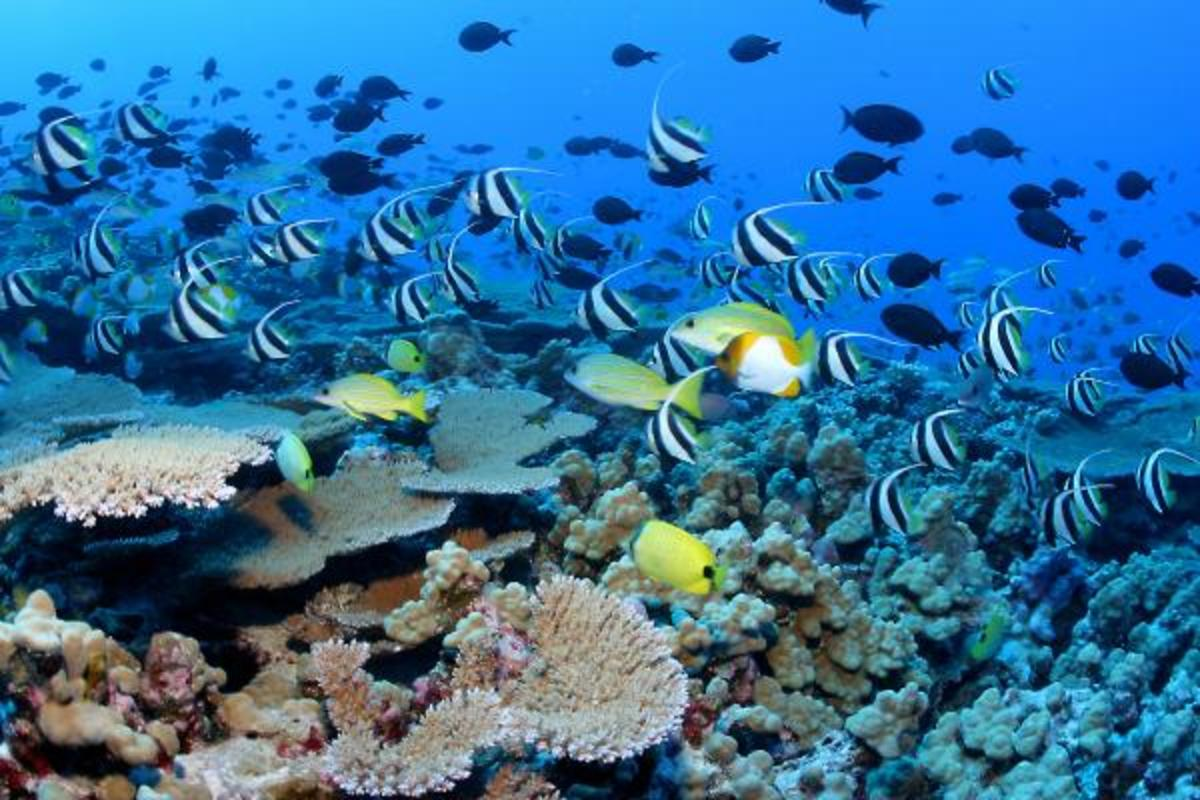 Colorful reef fish, like pennantfish, pyramid and milletseed butterflyfish, school in great numbers at Rapture Reef, French Frigate Shoals in the Papah?naumoku?kea Marine National Monument.