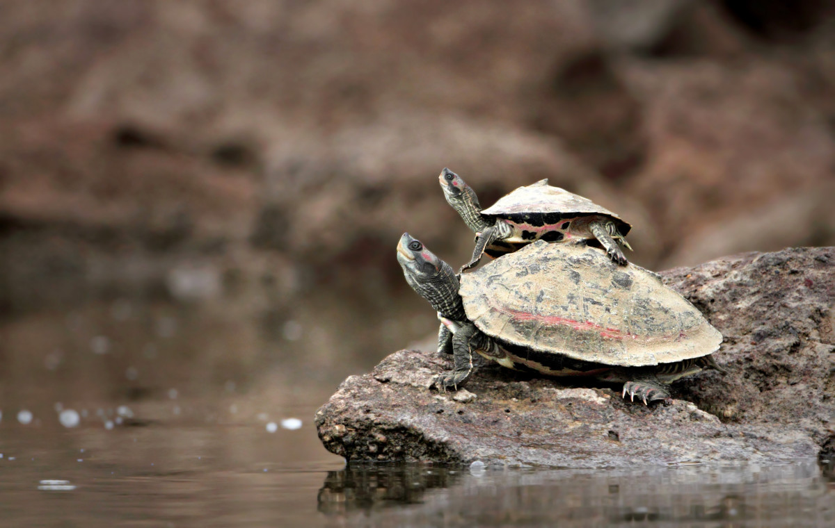 A turtle-back ride from mama turtle! The Indian tent turtle (Pangshura tentoria), is a species of the Geoemydidae family of turtles.