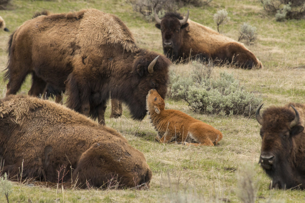 Newborn bison calf getting nuzzled by mom in Yellowstone National Park, Wyoming.