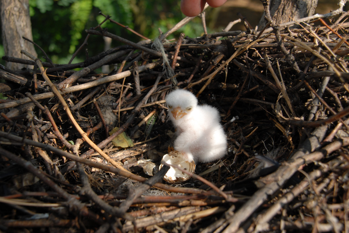 Young eagle chick in it's nest.