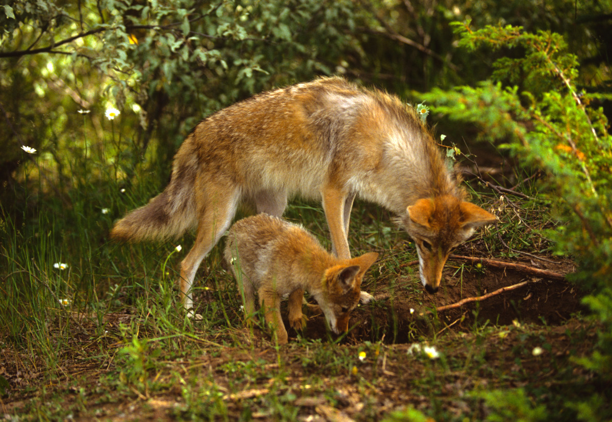 A coyote female and it's pup at their den.