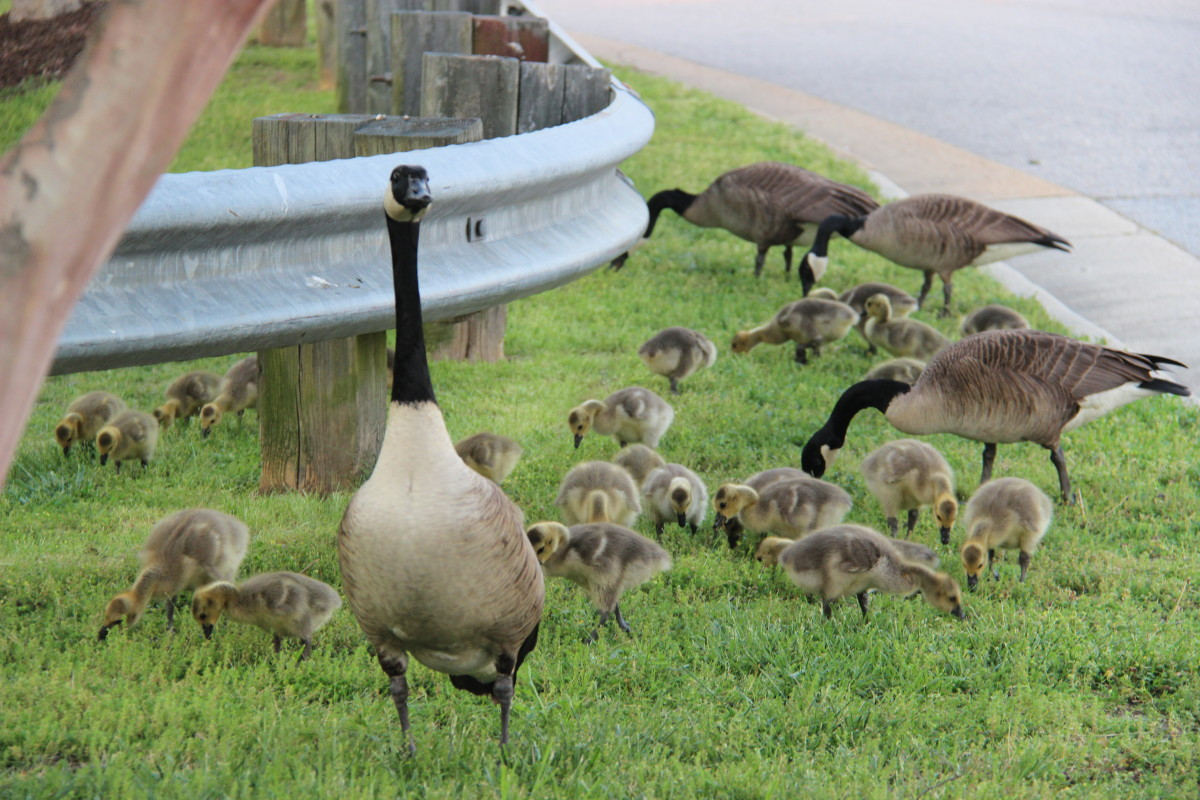 A protective goose looks over her baby geese. Goslings are one of many cute baby animals cherished in Indian country.